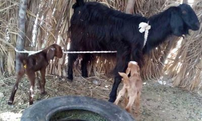 فراخوان خرید بز زنده جهت زاد و ولد برای خانواده های ایتام