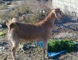 اهداء 5 رأس بز زنده به خانواده های ایتام