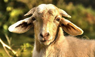فراخوان خرید گوسفند جهت قربانی در عید قربان